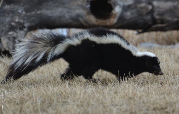 skunk hww